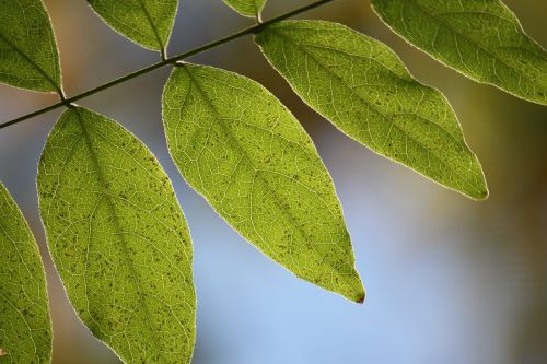 lapai,gamta,makro,natūralus,Wisteria,lapai,spalva,sodas,žalias,gyvenimas,šviesa,lapija,botanika