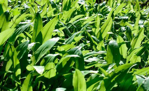 leaves bear's garlic garlic leaves