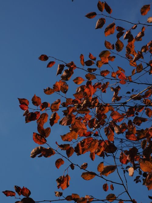 leaves red autumn