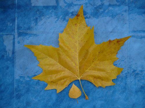 leaves size comparison autumn