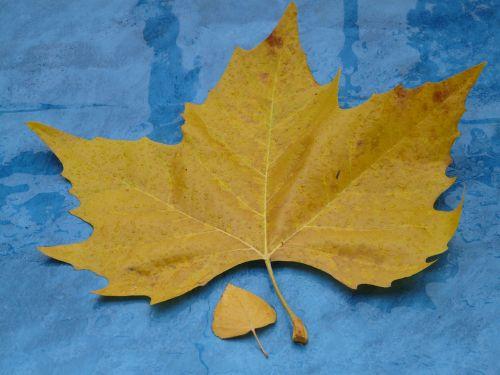 leaves,size comparison,autumn,fall foliage,maple leaf,yellow,rain,wet,fall color,poplar leaf,leaf,black poplar leaf