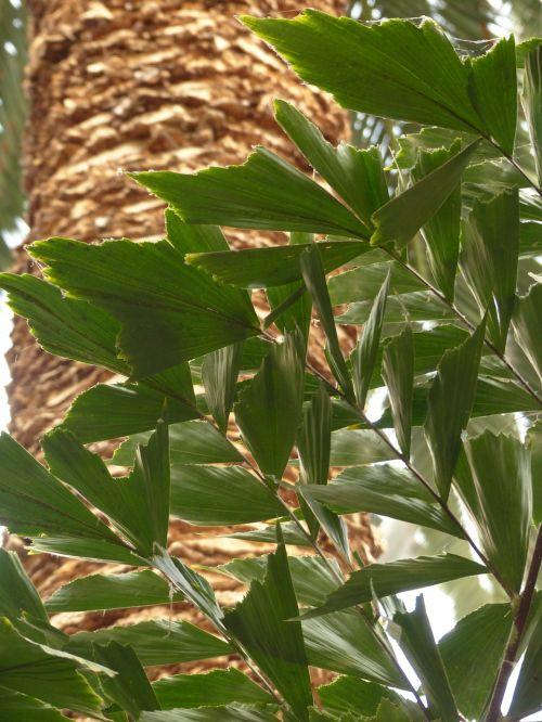 leaves palm frayed