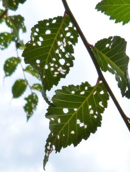 leaves plague disease