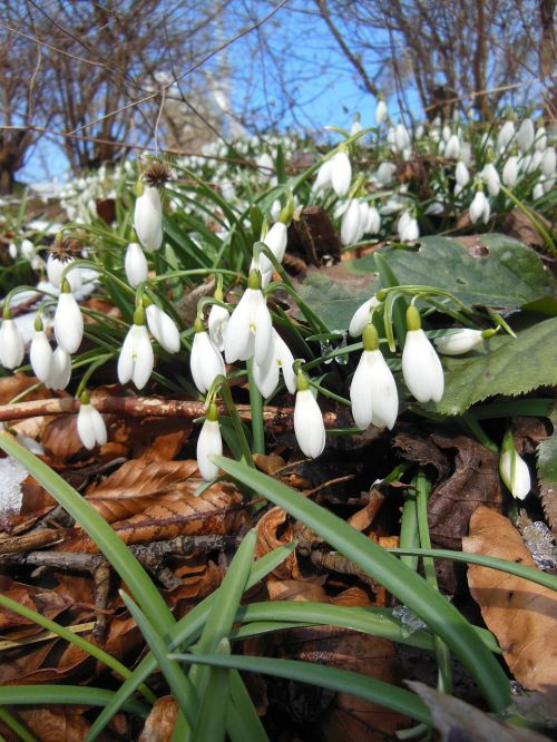 leaves snowdrops spring