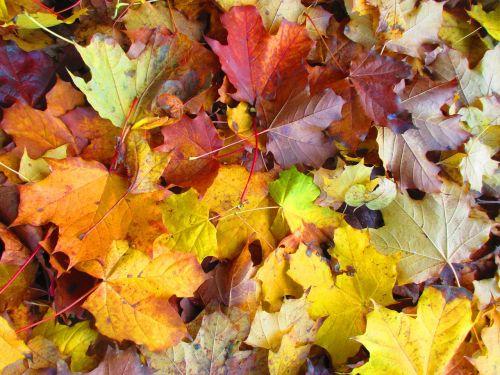 leaves autumn colorful