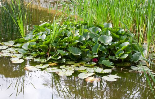 leaves aquatic plant nature