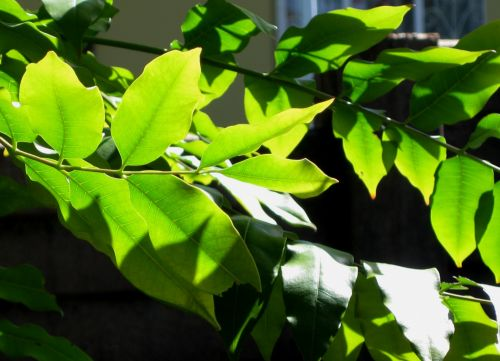 Leaves Of Cape Ash Tree
