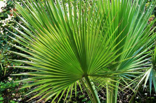 Leaves Of Fan Palm
