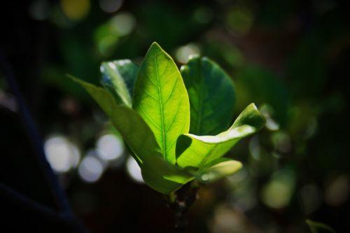 Leaves Of Gardenia