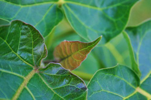 Leaves Of Tree Tomato