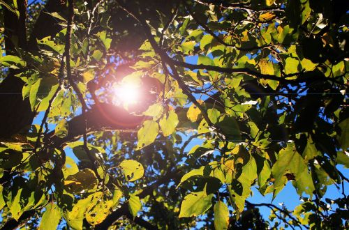 Leaves With Lens Flare