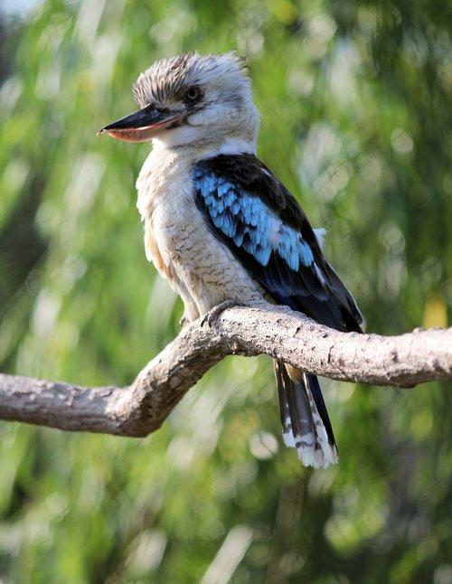 ledňák  bird  kookaburra