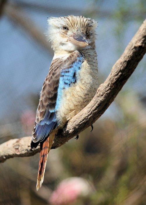 ledňák  bird  modrokřídlý