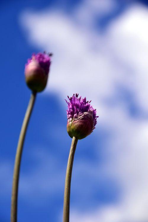 leek giant allium violet