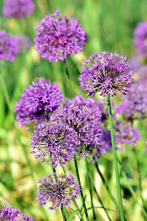 leek ornamental onion giant allium