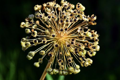 leek ornamental onion blossom