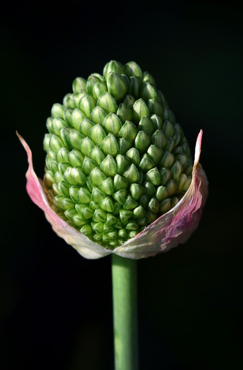 leek  ornamental onion  nature