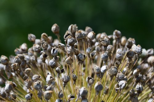 leek  seed  garden