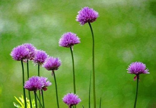 leek  blossom  bloom