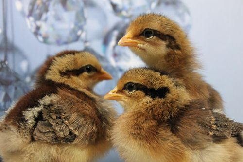 Leghorn Chicks