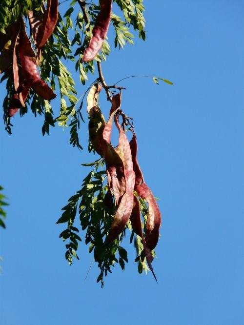 legumes honey locust tree