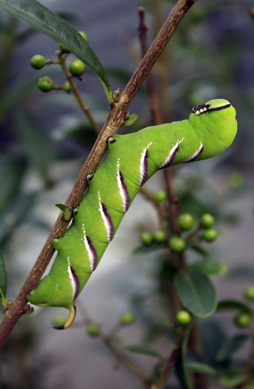 legustersværmer moth larvae