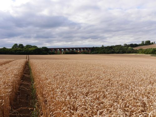 leicestershire corn field path leading to railway viaduct english late summer