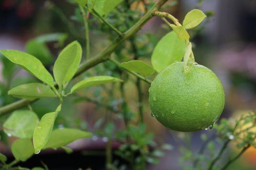 citrina,lapai,žalias,žalias lapas,augalas,gamta,lapija,pavasaris,šviežias,citrusiniai
