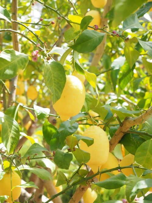 lemon limone lemon tree
