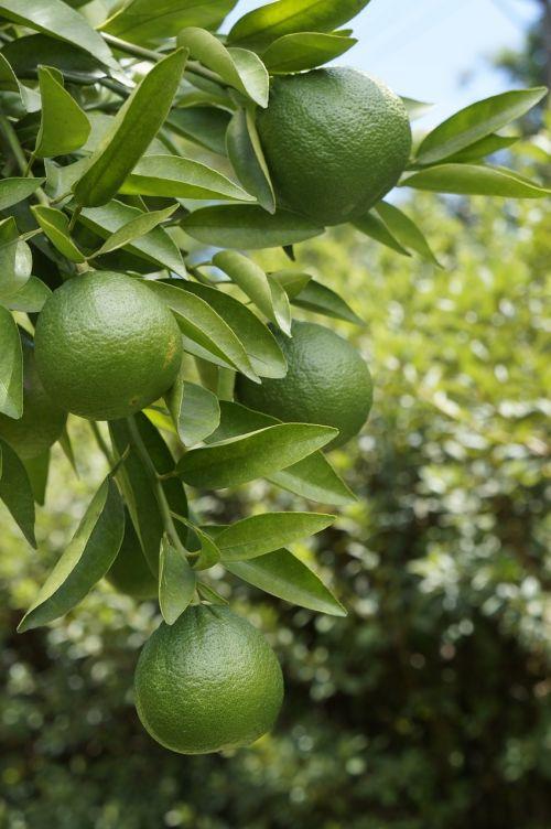 citrina,vaisiai