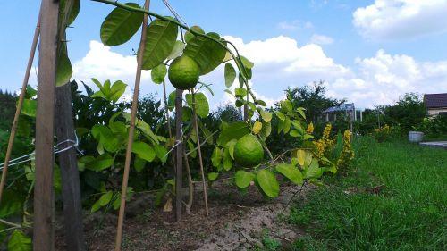 lemon fruit citrus
