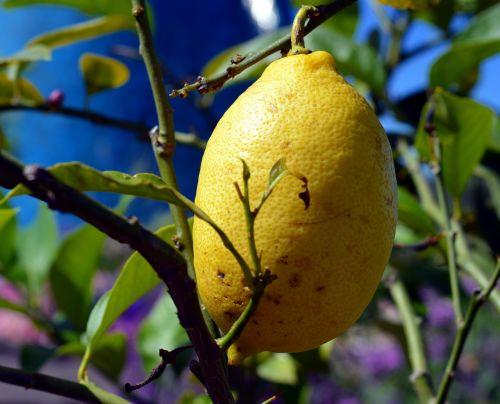 citrina,Citrusiniai vaisiai,citrinmedis,Viduržemio jūros,geltona,rūgštus,vitaminai,sultys,sveikas,augalas,bäumchen,vasara,gamta