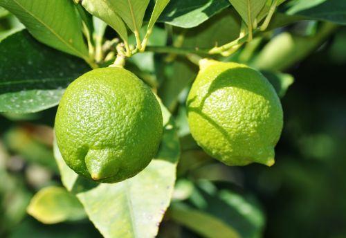 lemon green lemon tree