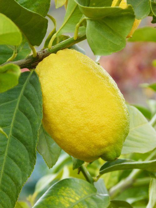 lemon citric fruit