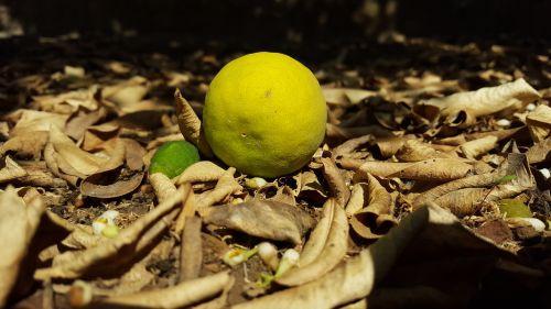 citrina,sodas,lapai