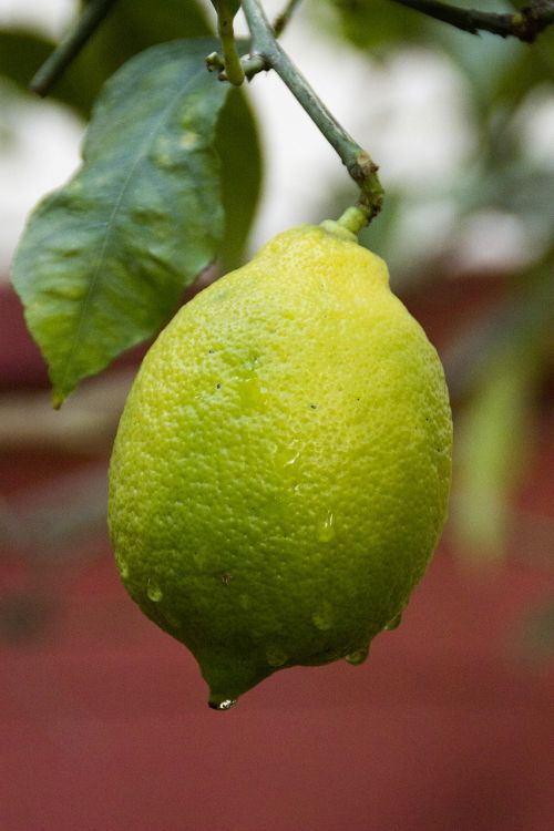 lemon tree garden