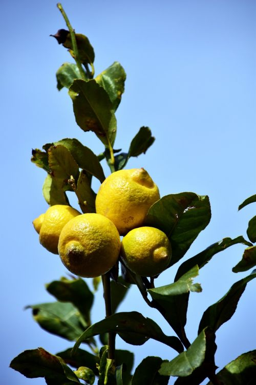 lemon lemon tree citrus fruits