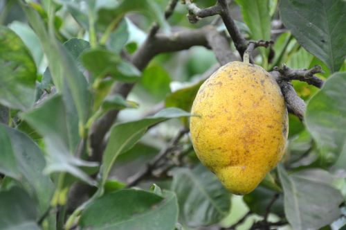lemon tree citrus fruits