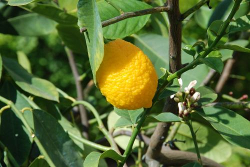 lemon lemon tree lemon fruit