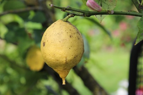 lemon  lemon tree  fruit