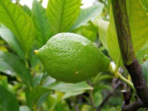 lemon  immature fruit  green