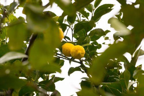 citrina,citrinmedis,vaisiai,medžio vaisiai,limone,rūgštus,bio,vaisiai,geltona,maistas,vitaminai,gamta,Citrusiniai vaisiai