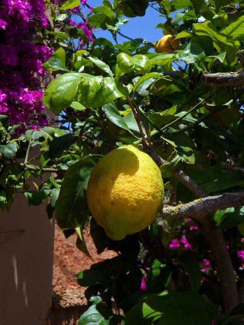 lemon lemon tree citrus