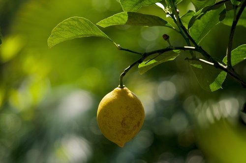 lemon  limone  citrus limon