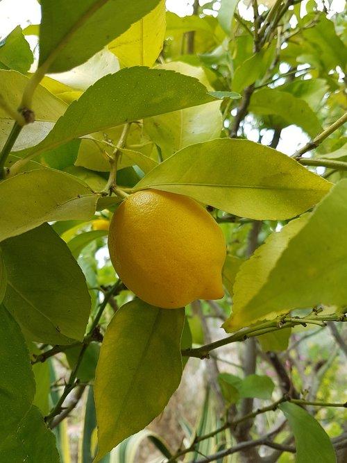 lemon  lemon tree  citrus fruits