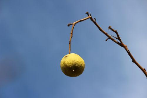 citrina,filialas,dangus
