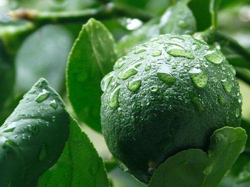 lemon unripe myer