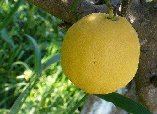 citrina,medis,gamta,maistas,vaisiai,rūgštus,šviežumas,natūralus,sodas,sveikas,ekologiškas,prinokę