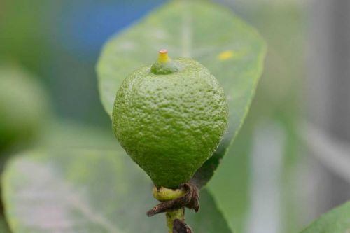 citrina, žalias, augalas, vaisių