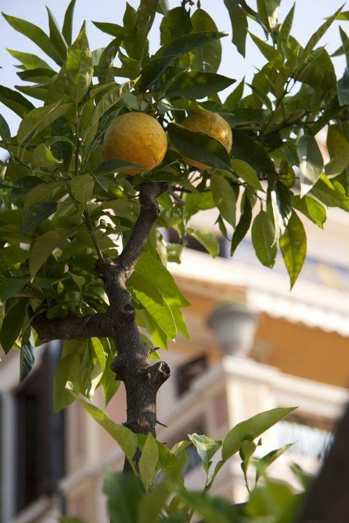 lemon limone citrus